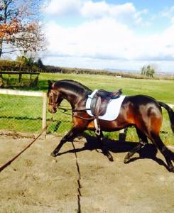 darcas stallion 2