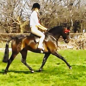 darcas stallion